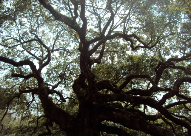 Twisted_Oak@Kiawah